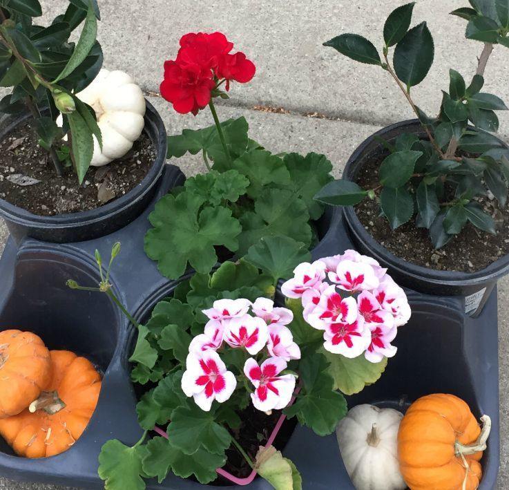 Lovely geraniums camellias and pumpkins from Green Acres Nursery via Kaye Swain Roseville CA real estate agent and blogger 700 close