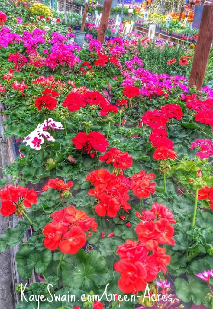 Senior gardening projects for Roseville real Estate agent blogger Kaye Swain and mom include lovely geraniums from Green Acres ks