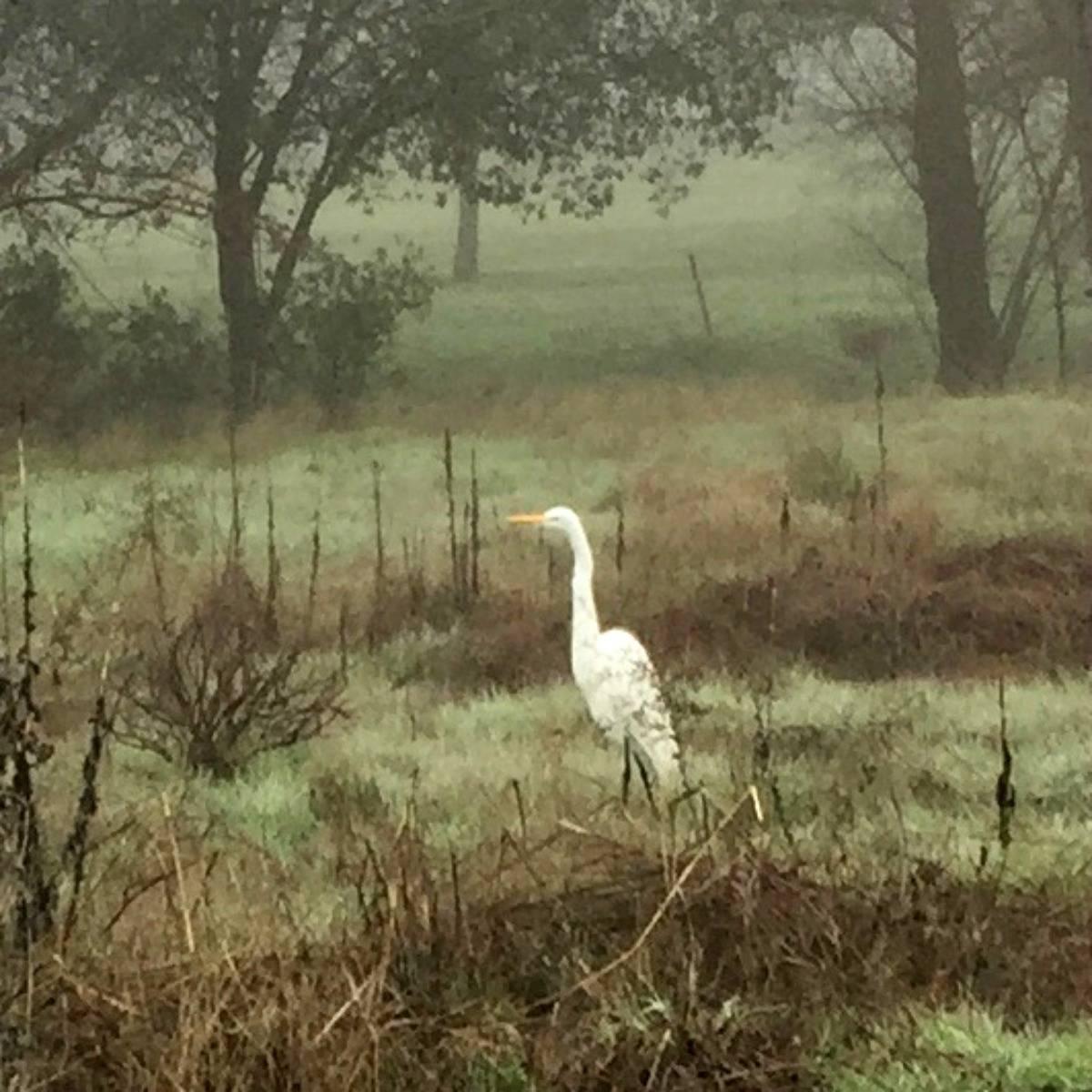 Egrets in the fog in West Roseville CA via Kaye Swain Roseville CA