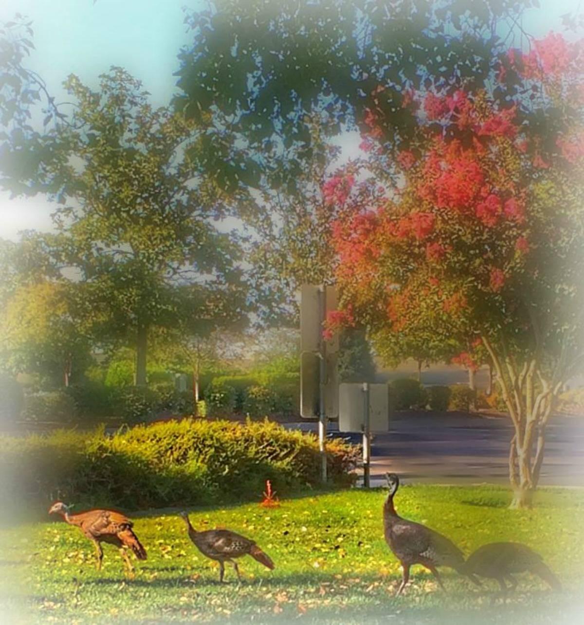 Wild Turkeys wander around West Roseville including one of the best golf retirement communities Sun City by Del Webb via Kaye Swain