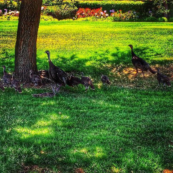 Wild turkeys in West Roseville CA by Social media blogger and REALTOR Kaye Swain