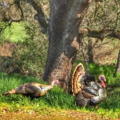 Kaye Swain Roseville CA REALTOR blogger sharing cute critters in West Roseville turkeys