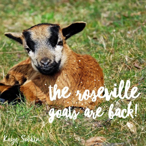 Summer Joys Roseville goats back Kaye Swain Roseville CA Real estate agent blogger