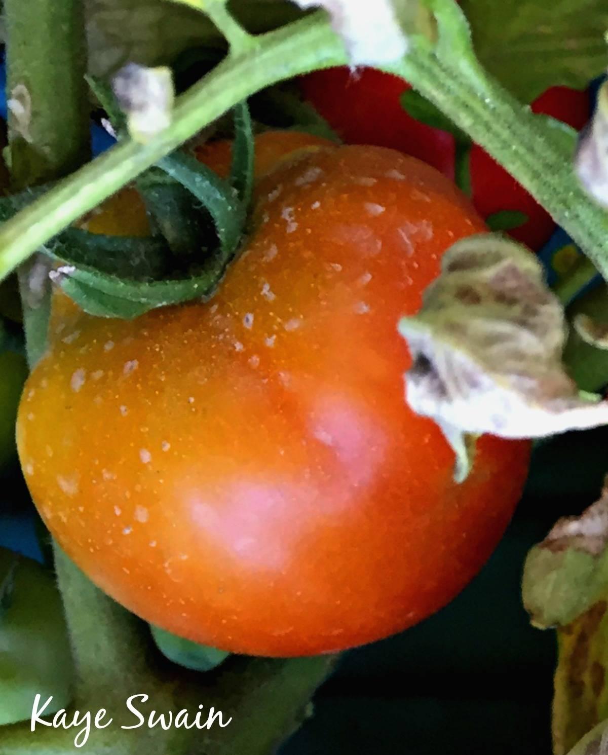 Kaye Swain Roseville real estate agent shares senior moms tomato better than any healthy eating restaurants Roseville CA