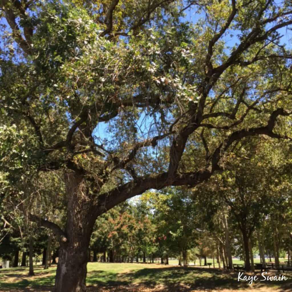 Kaye Swain Roseville Real Estate Agent shares Kaseberg Park Shade Roseville Parks