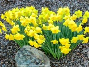 Kaye Swain Roseville REALTOR sharing gardening joys daffodils