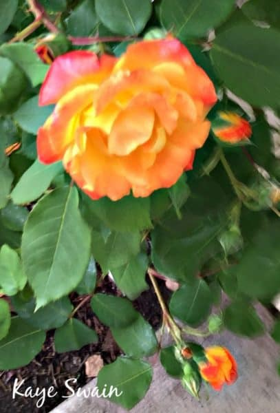 Kaye Swain I sell homes Roseville sharing orange flower