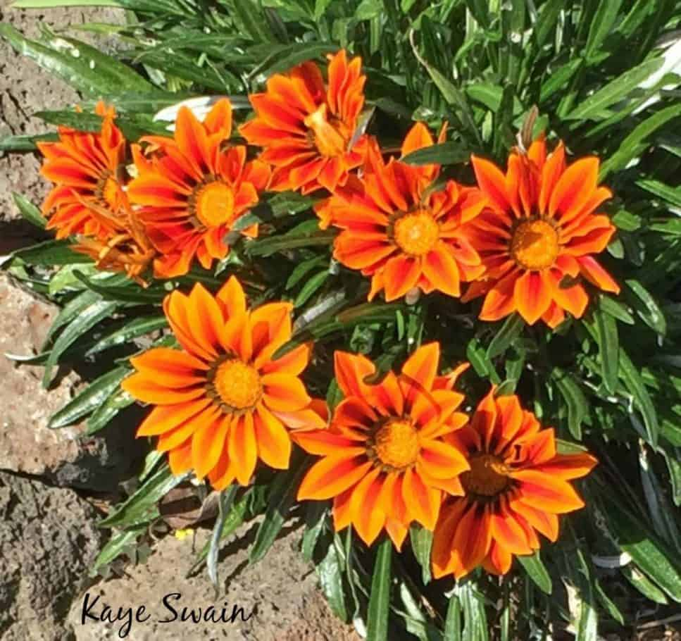 Roseville CA REALTOR Kaye Swain sharing beautiful orange flowers spring 2017