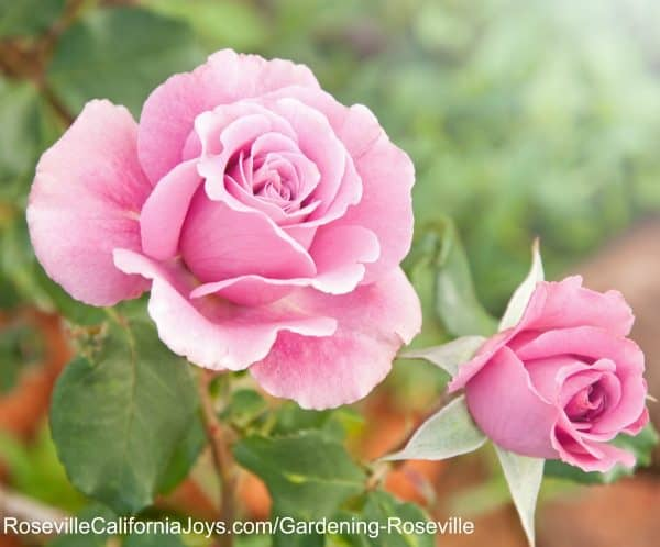 Are your roses pruned so you can enjoy lovely roses when gardening Roseville this summer