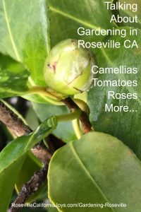 Talking about Gardening in Roseville camellias tomatoes roses more at Pinterest