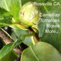 Gardening Roseville camellias tomatoes roses more at Pinterest